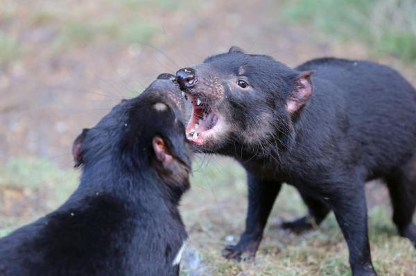 Second form of contagious cancer found in Tasmanian devils