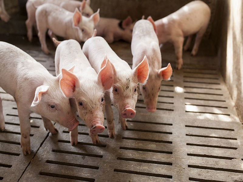 Antibiotics in animal feed contribute to drug-resistant germs: Study