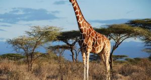 Giraffes are four species, not one: study