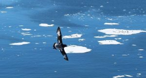 New tracking technology gives Australian scientists unprecedented access to seabirds in Antarctica By Fiona Breen
